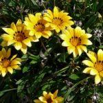 ガザニアの挿し木(挿し芽)に最適な時期はいつ頃の季節?