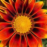 ガザニア・カシスクリームの花は何色?特徴は?