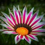 ガザニア・カナリアスマイルの花は何色?特徴は?
