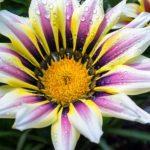 ガザニア・ガズーの花は何色?特徴は?