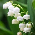 スズランの花の見頃の季節はいつなの!?