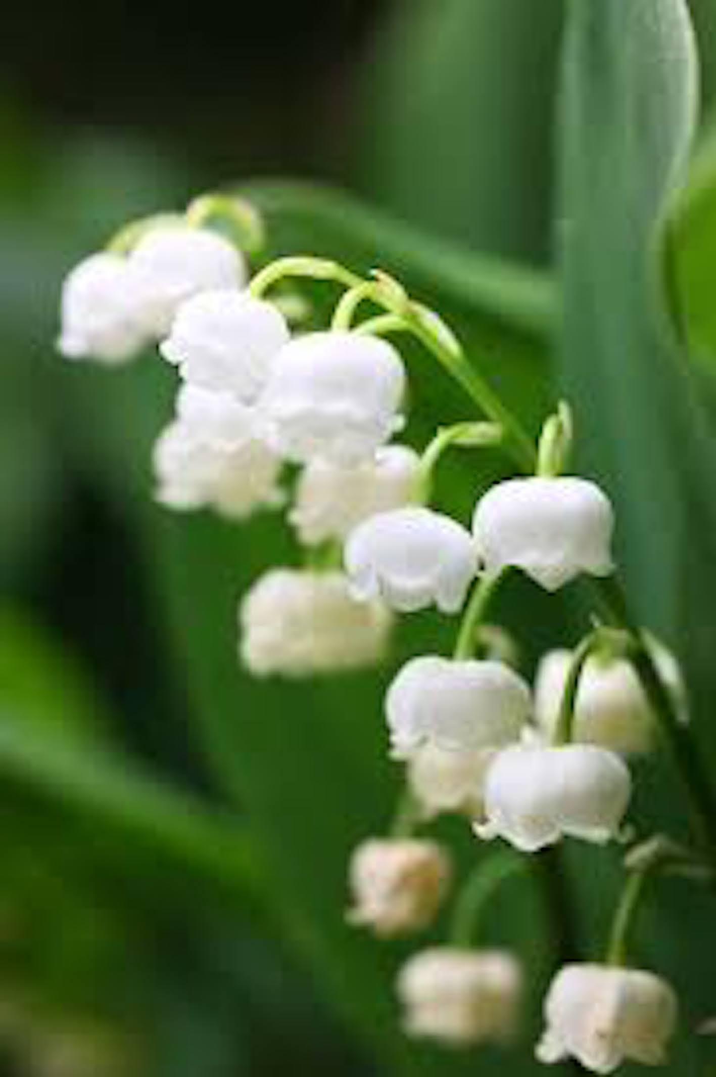 スズラン 花 季節