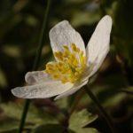 アネモネの花が咲く季節、時期はいつ!?