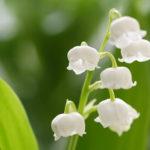 スズランの花の名前の由来や学名での読み方とは!?
