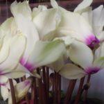 シクラメンの寄せ植えの作り方!相性がいい花は!?