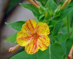 オシロイバナ 花言葉 オレンジ