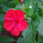 【オシロイバナの種を植えてから発芽するまでの育て方のコツとは?】