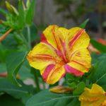 オシロイバナの花が咲く時期はいつ頃?見頃の季節とは?