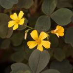 オキザリスの開花時期はいつ頃の季節?