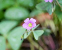 オキザリス 花 咲かない