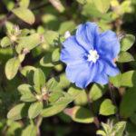 アメリカンブルーの花を増やすおすすめの方法とは?