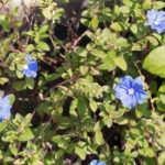 アメリカンブルーの花にはどんな種類や色がある?