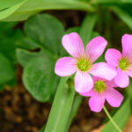 オキザリス レグネリーの特徴や花言葉の意味は?