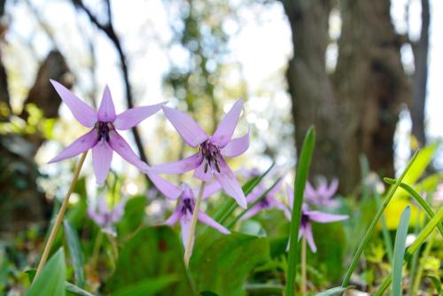 金剛 山 カタクリ の 花