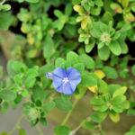アメリカンブルーの花が咲かない?原因や対処方法とは?