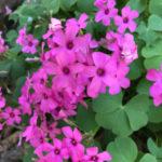 白色の花を咲かせるオキザリスの種類と特徴とは?