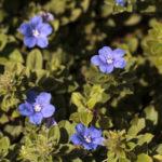 アメリカンブルーの花の英語での読み方や発音、つづり(スペル)は?