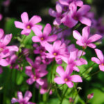 オキザリスバリアビリスの花にはどんな種類がある?