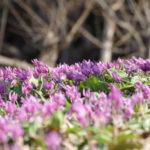 カタクリを植え開花するまでどれくらいの時間(期間)がかかる?