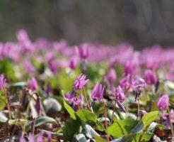 カタクリ 開花 条件