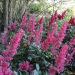 アスチルベの花言葉にはどんな意味や由来があるの?