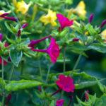 オシロイバナの種まきに最適な時期はいつ頃の季節?