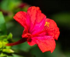 オシロイバナ 花言葉 由来