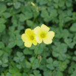 オキザリスの花言葉は色によって違う?どんな種類があるの?