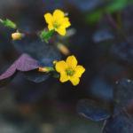 オキザリス トリアングラリスの特徴や花言葉の意味は?