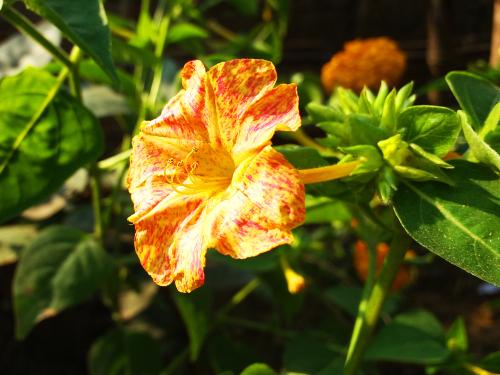 オシロイバナ 花言葉 英語