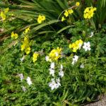 オキザリスとカタバミは植物学的におなじ種類?