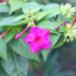 オシロイバナの花や苗、種子、実などの構造や特徴は?