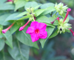 オシロイバナ 花 構造