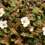 オキザリス パーシーカラーの花の色や大きさなどの特徴は?
