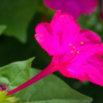 ピンク色のオシロイバナの品種とは?どんな種類があるの?