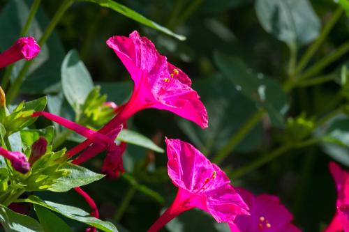 オシロイバナ ピンク 花言葉