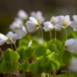 オキザリス 桃の輝きの花期は長い?短い?他の種類と比較!