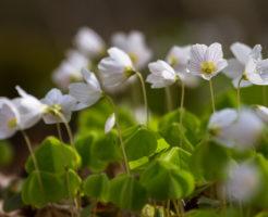 オキザリス 桃の輝き 花期