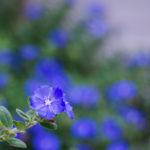 花のアメリカンブルーを枯らさない育て方のコツとは?