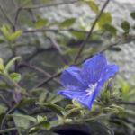 アメリカンブルーの苗の植え付け方法や間隔は?