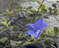 アメリカンブルー 苗 植え付け