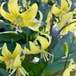 愛知県でのカタクリの花の名所やおすすめスポットは?