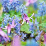 カタクリを種から花まで育てる方法と注意点は?