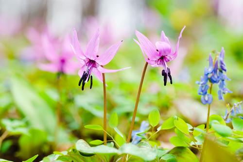 カタクリ の 花 の 増やし方