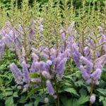アスチルベの苗の植え付け方法やその後の育て方のコツとは?