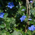 アメリカンブルーの鉢植えでの育て方や手入れ方法とは?