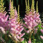 アスチルベの苗の植え付けに最適な時期はいつ頃の季節?