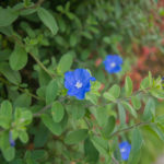 アメリカンブルーの鉢植えの冬越し方法や手入れ方法とは?
