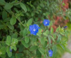 アメリカンブルー 冬越し 鉢植え