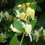 スイカズラの花言葉の意味や由来とは?